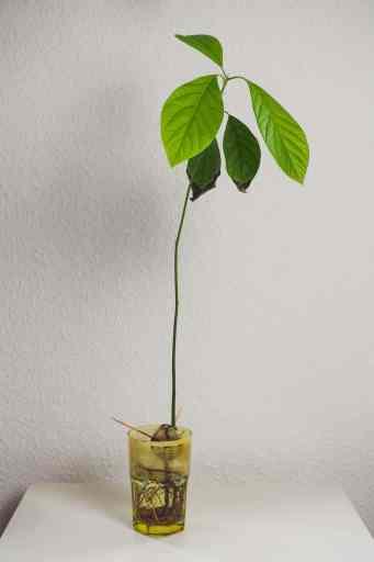 Avocado Steckling im Glas. Aus dem Artikel: Zimmerpflanzen umbringen leicht gemacht – ein Erfahrungsbericht