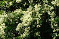 Flowers around Lemonwood
