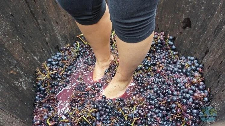 Vendemmia pigiatura dell'uva con i piedi nel tinozzo