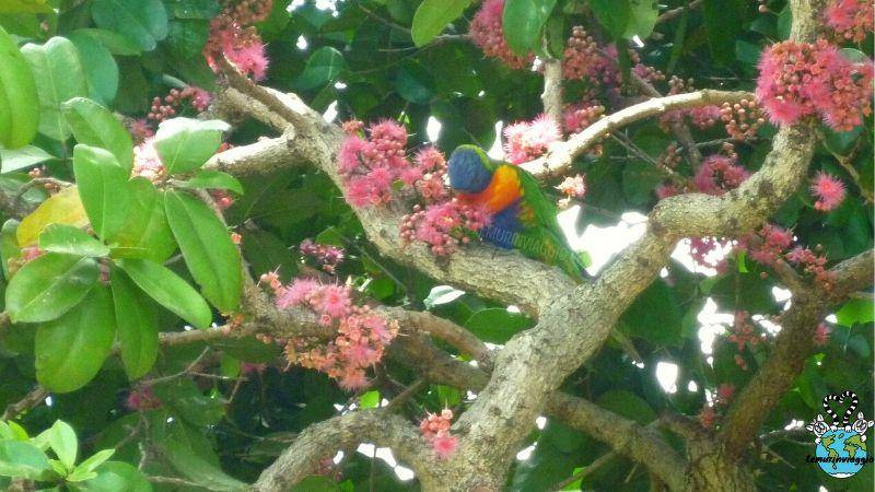 uccelli australiani dal piumaggio arcobaleno