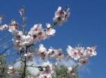 Heavenly beautiful almond blossom