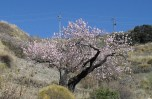 Just an almond tree