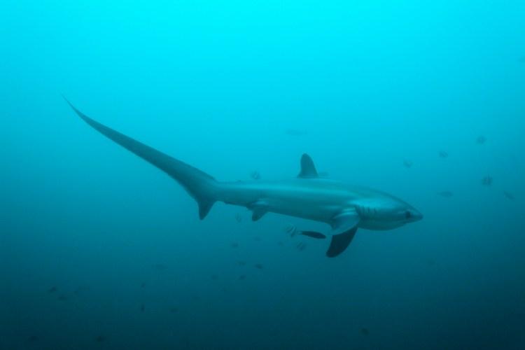Thresher Shark