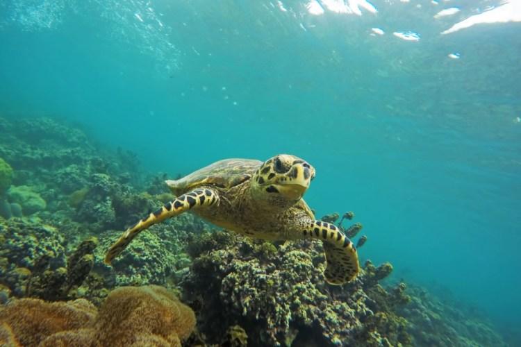 Dimakya Turtle