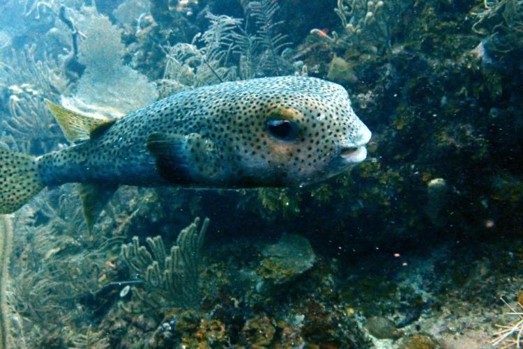 Utila_Raggedy Cay Porcupine Puffer