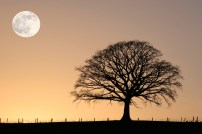 winter-oak-and-full-moon