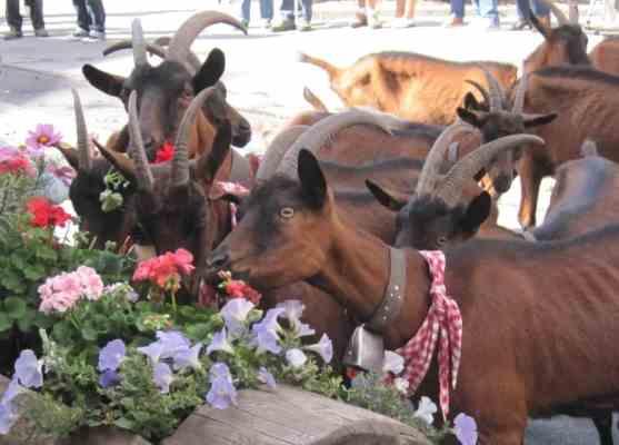 crans-montana goats flowers