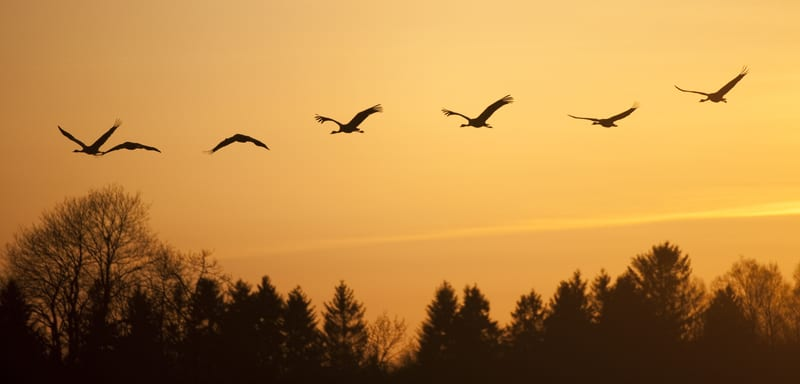 Cranes flying at sunset