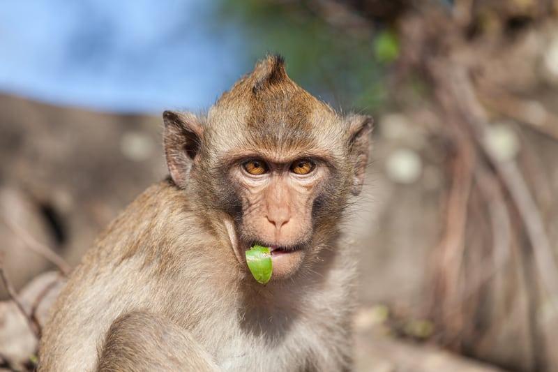 A rhesus monkey - © Jan Schneckenhaus | Dreamstime.com