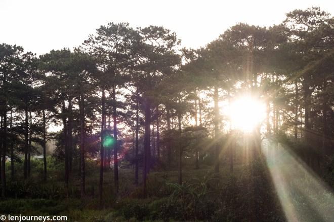 Sunlight through pine trees