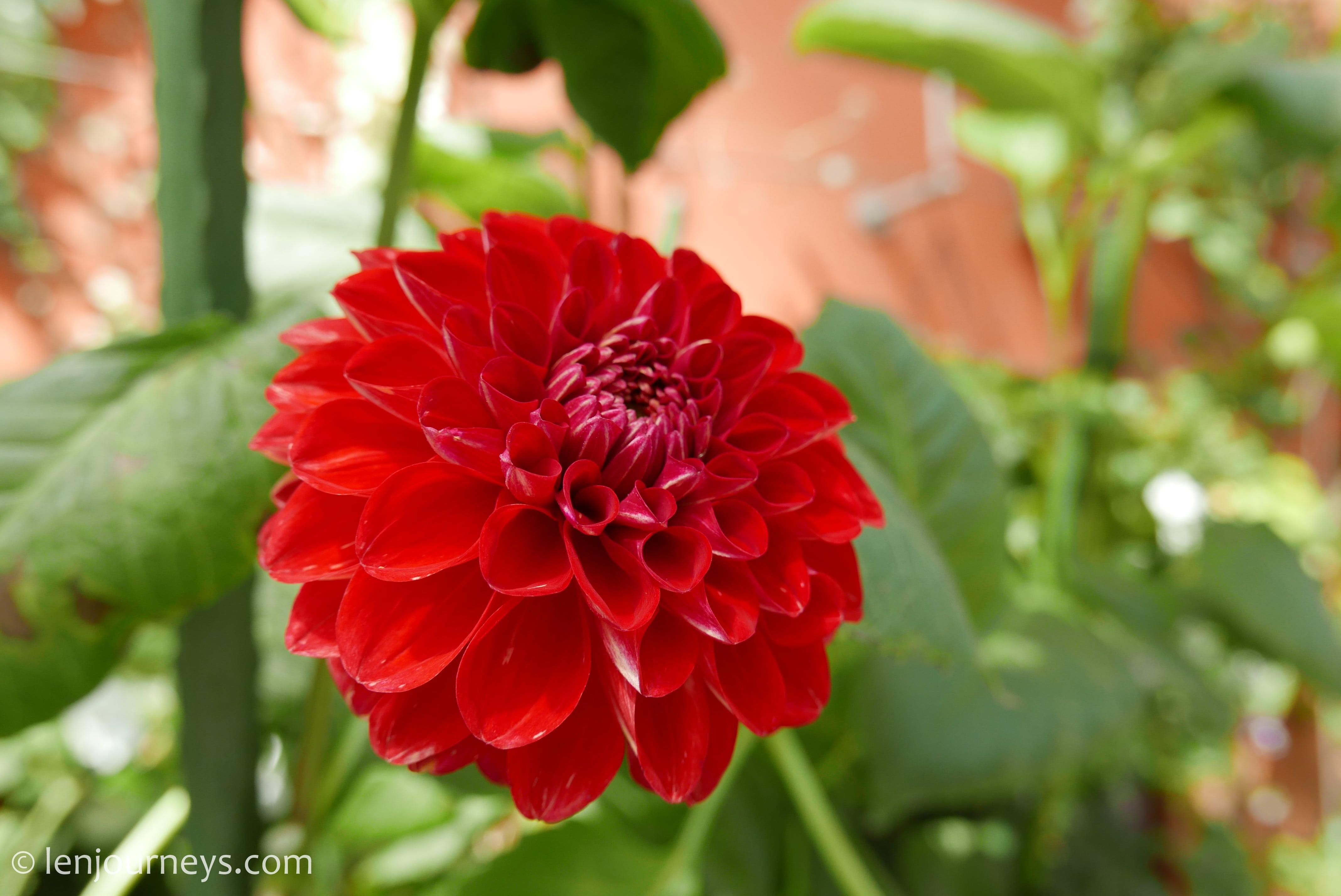 Crimson dahlia at Flower Dome