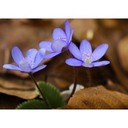 přání/kondolence Fialový květ