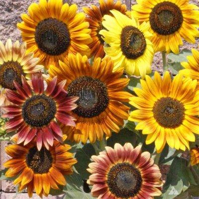 Slunečnice okrasná - směs