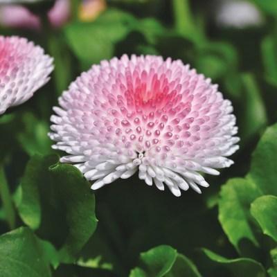 Sedmikráska chudobka TASSO - růžová s červeným středem - 50 ks semínek