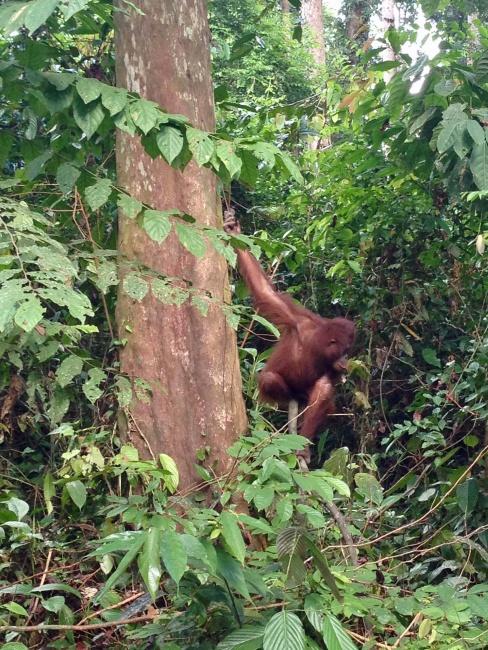 Sepilok, Borneo, Malajzia