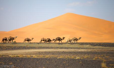 camel train / merzouga, morocco