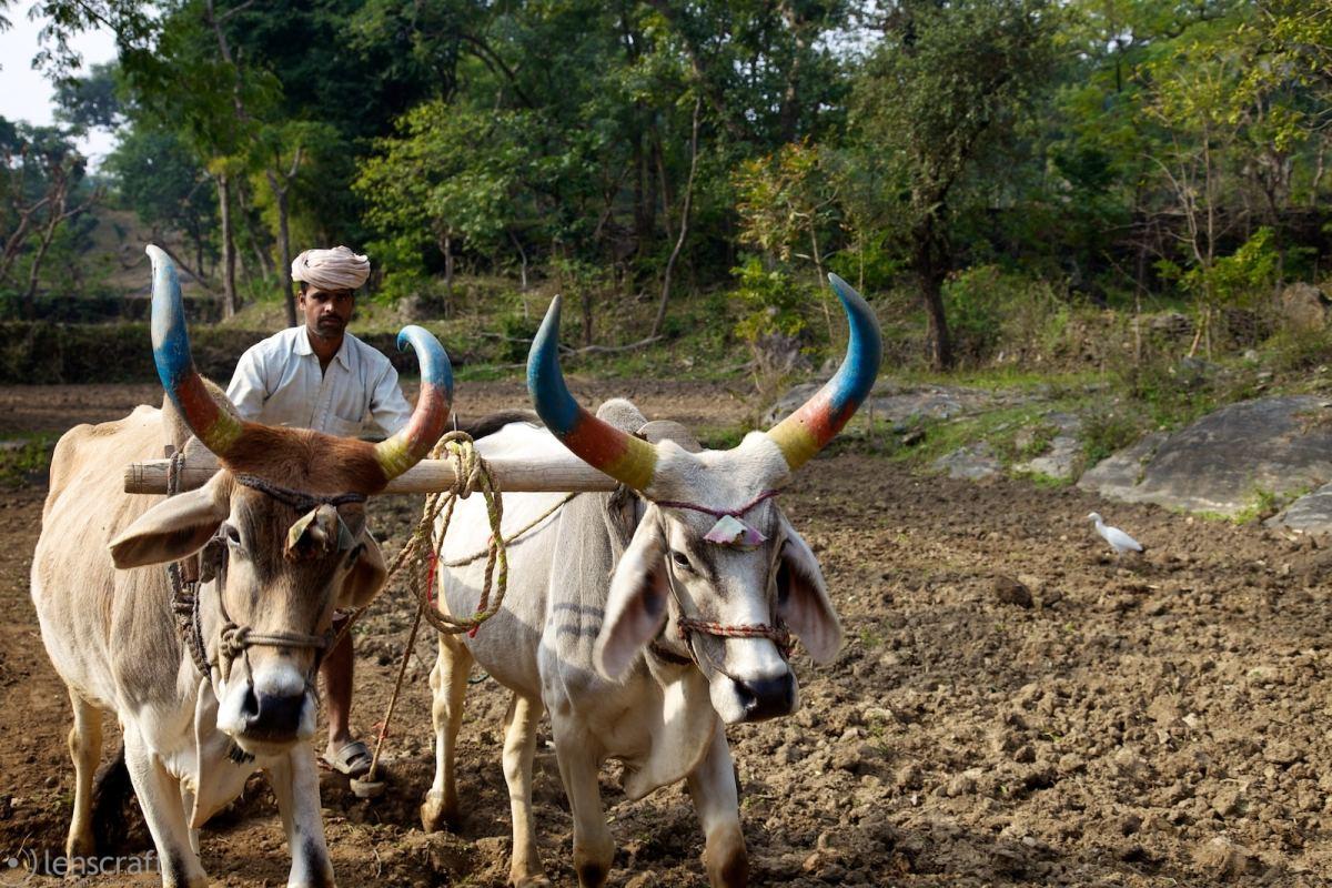 diwali horns / near kumbhalgarh, india