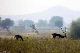 blackbuck / umednagar, india