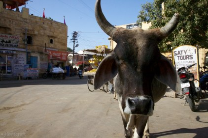 in-your-face tour of this cow / jaisalmer, india