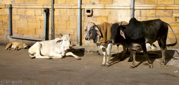 cows in repose / jaisalmer, india