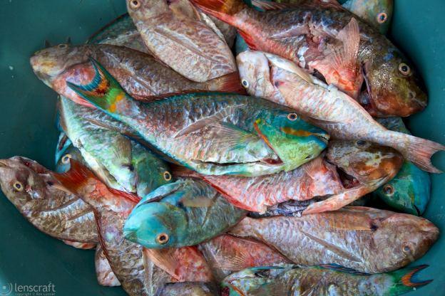 parrot fish / archipiélago de san bernardo, colombia