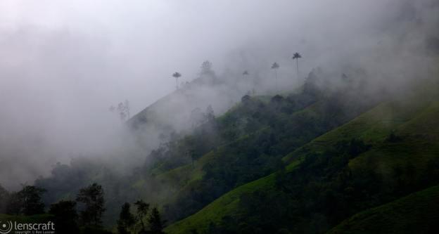 misty palms / manizales, colombia