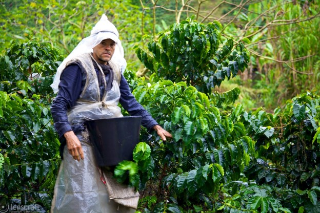 coffee picker / manizales, colombia
