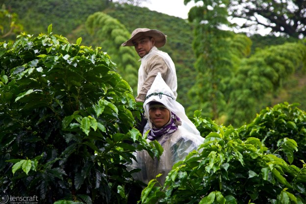 coffee pickers / manizales, colombia