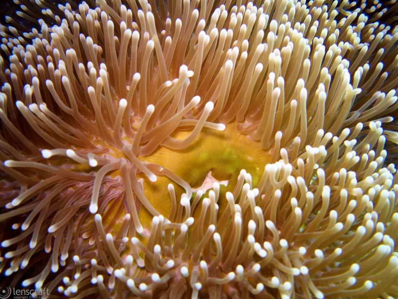 anemone / yap, micronesia