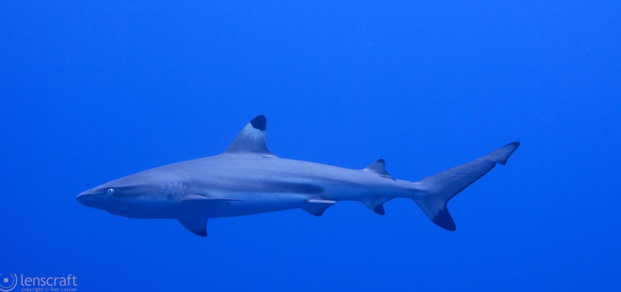 black tip reef shark / yap, micronesia