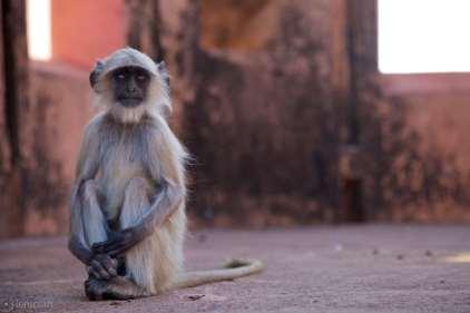 the attentive langur / jaipur, india