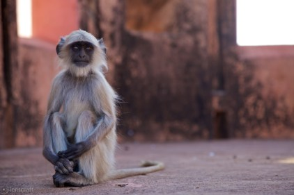 the attentive langur / jaipur, india