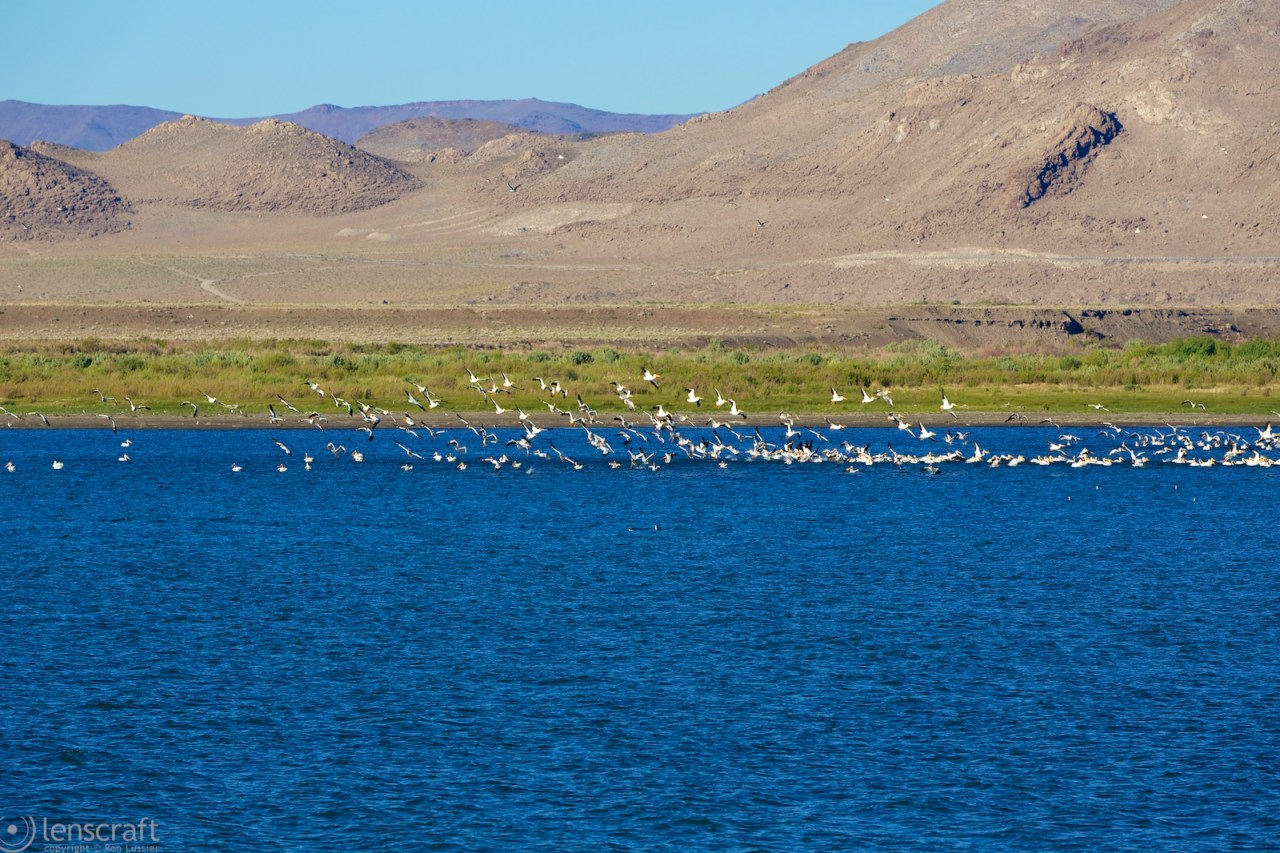 seagulls on pyramid lake / nevada