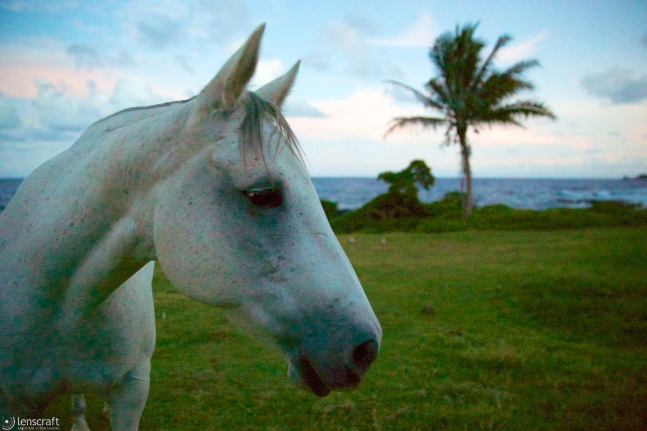 the old gray mare / hana, hawaii