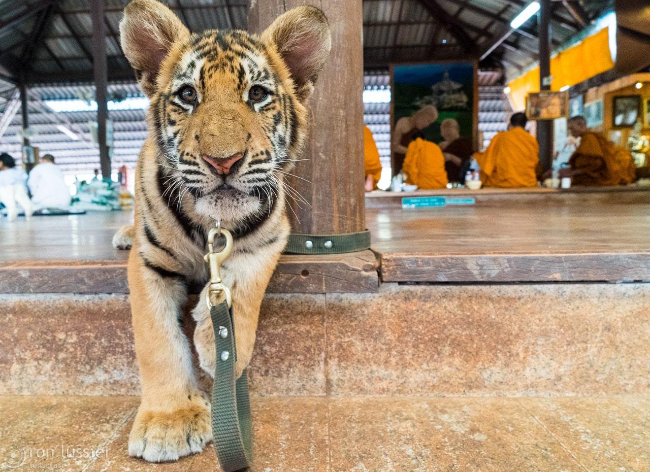 curious tiger cub / wat pha luang ta bua, kanchanaburi, thailand