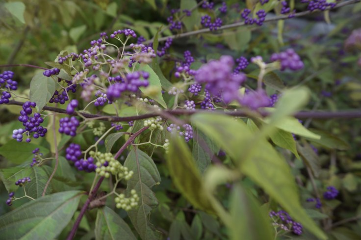 callicarpa-beautyberry-oct-26-194