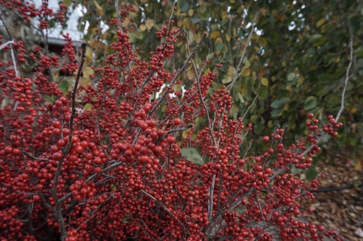 winterberry-windy-hill-oct-26-200