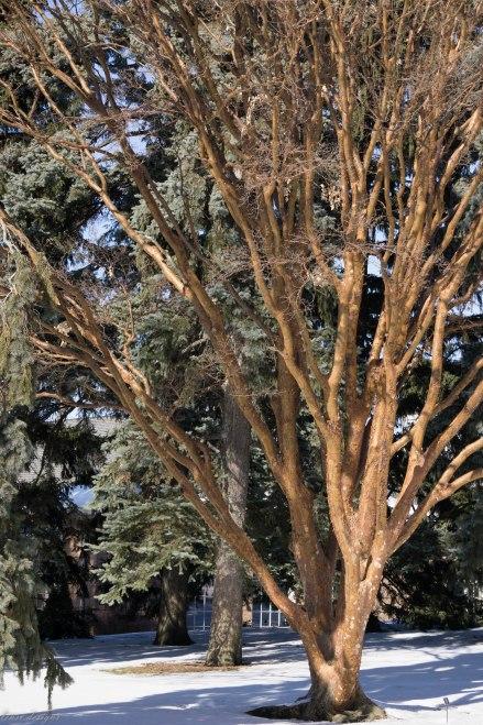 acer-griseum-gorgeous-peeling-bark_16075810924_o