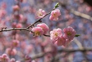 Prunus mume 'Peggy Clarke' Japanese Apricot