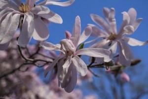 Magnolia stellata 'Waterlily' Star magnolia