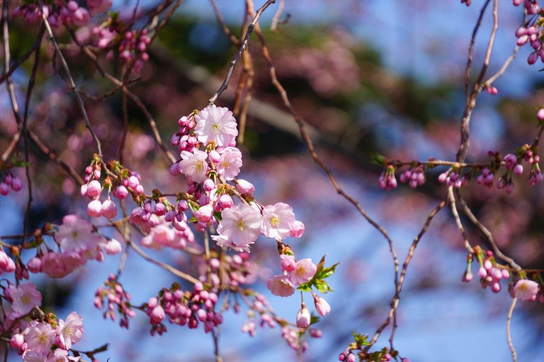 flowering-cherry