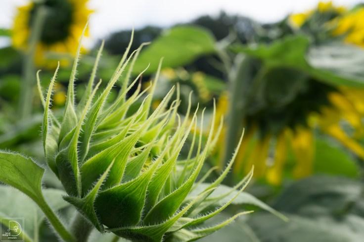 sunflowers-11_19834254126_o