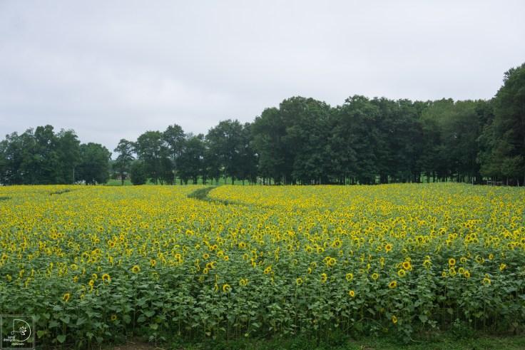 sunflowers-2_19865414671_o