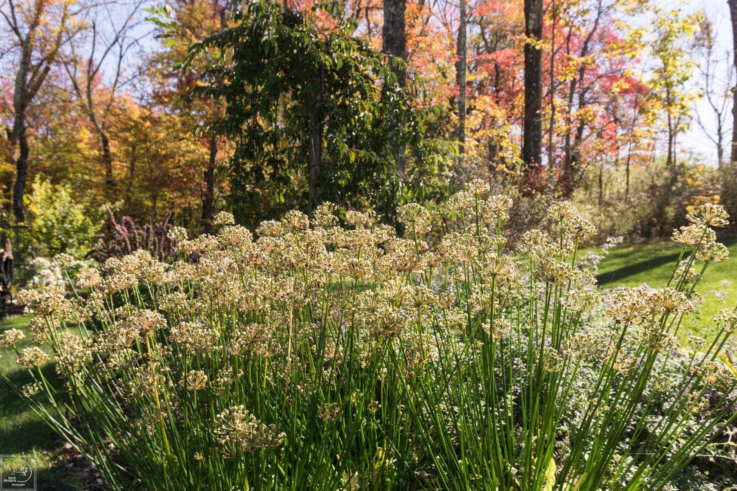 ... Allium Tuberosum
