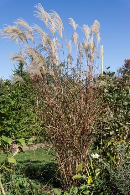 Grasses Yakushima-1