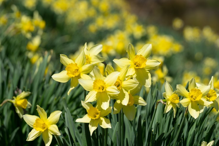 Daffodil field- Laurel Ridge