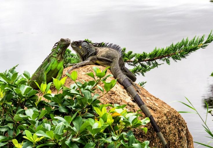 Large Lizard-1