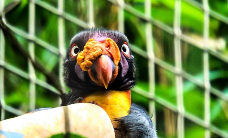 Vulture close up