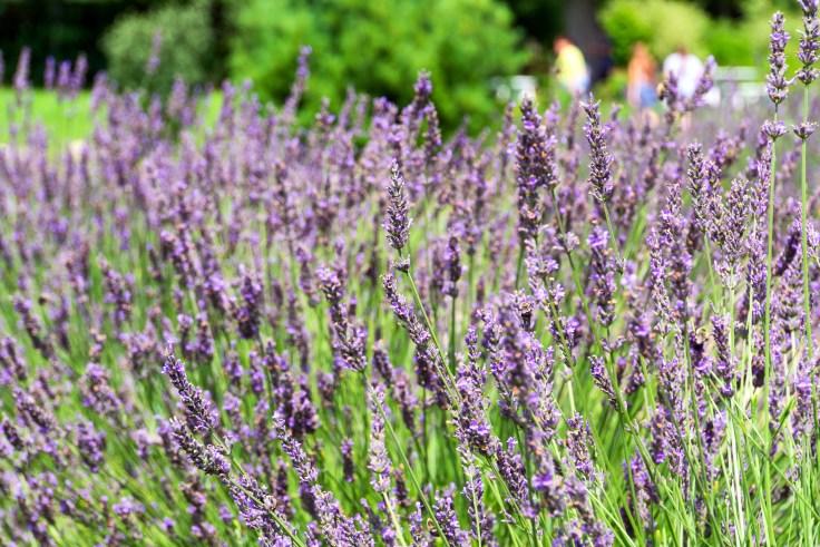 lavender-1-3