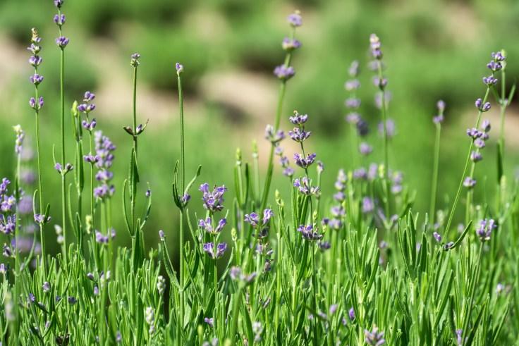 lavender-1-4